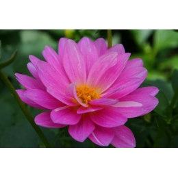 Алмазная вышивка Розовый лотос