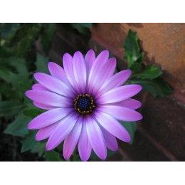 Алмазная вышивка Ромашка фиолетовая