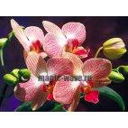 Алмазная вышивка Орхидеи