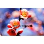 Алмазная вышивка Цветы абрикоса