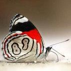 Алмазная вышивка Бабочка 2