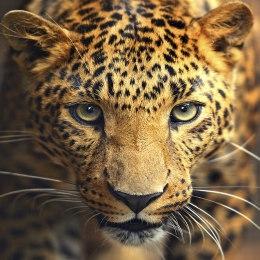 Алмазная вышивка Портрет леопарда