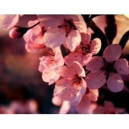 Алмазная вышивка Вишня в цвету