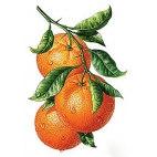 Алмазная вышивка Апельсиновая ветвь