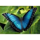Алмазная вышивка Голубой морфо